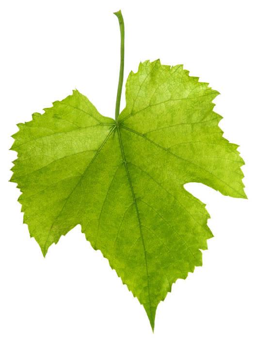Что съедобного в виноградной лозе? Листья винограда.