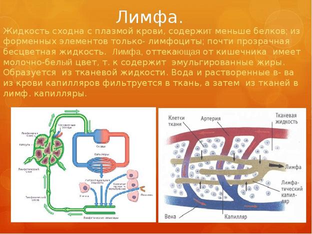 Лимфа. Состав и назначение лимфы в организме человека