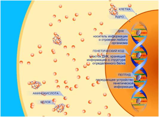 Пептидные биорегуляторы. Действие пептидов